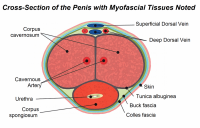penis-cross-section-myofascial-tissues-1024x659.png