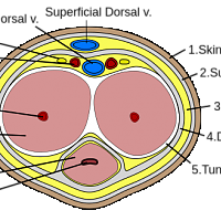 Penis_cross_section.svg.png